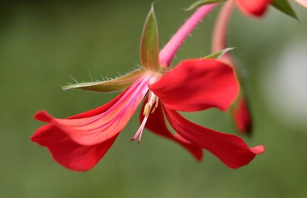 Bildbeschreibung: Das Bild zeigt eine rote Blüte einer Pelargonie. Ende der Bildbeschreibung.