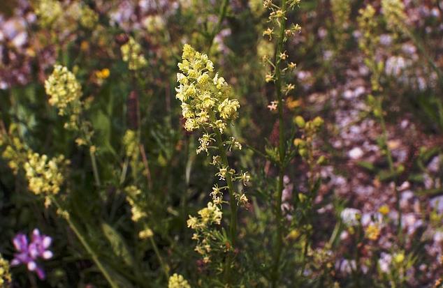 Bildbeschreibung: Auf dem Bild sind mehrere Pflanzen der Resede in den Blütenfarben rosa und gelb zu sehen. Ende der Bildbeschreibung.