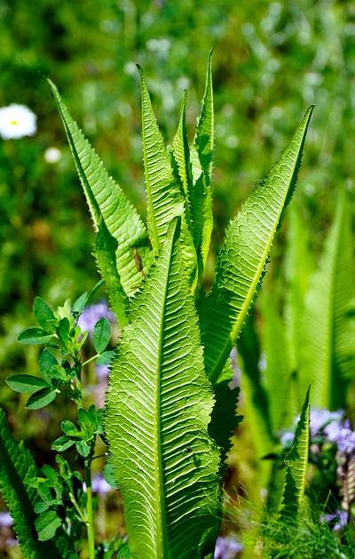 Bildbeschreibung: Das Bild zeigt eine Tabakpflanze mit den typischen großen grünen Blättern. Ende der Bildbeschreibung.