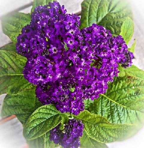 Bildbeschreibung: Auf dem Bild ist eine Vanilleblume mit mehreren Blüten in dunkellila abgebildet. Ende der Bildbeschreibung.