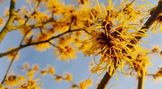 Bildbeschreibung: Das Bild zeigt die Pflanze Zaubernuss mit ihren vielen gelbe, fadenförmige Blüten. Ende der Bildbeschreibung.